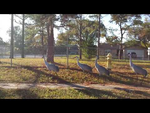 Sand hill cranes in the hood