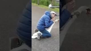 Guy Saves Swan
