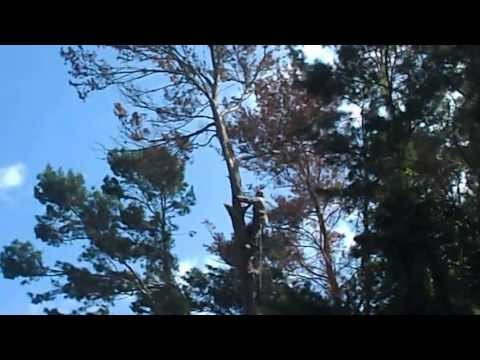 First Choice Tree Service Titusville Fl Tree Removal Micah Topping A Pine Tree