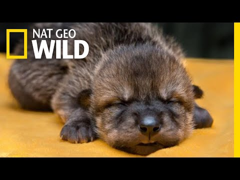 Rare Mexican Wolf Pups Meet Their Wild Foster Families | Nat Geo Wild