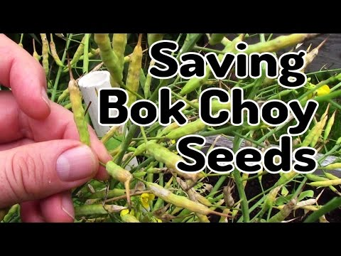 How To Save Bok Choy Seeds