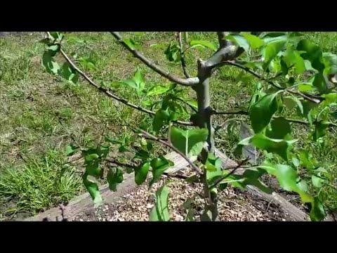 Deterring Deer from eating my Fruit Trees