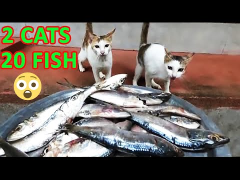 2 cats eating nearly 20 raw fishes (Not even a single piece was left!)