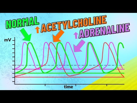 046 How Adrenaline and Acetylcholine Affect Heart Rate