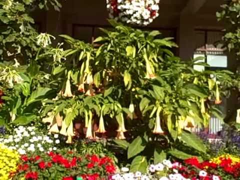 Highly hallucinogenic Datura in planter box