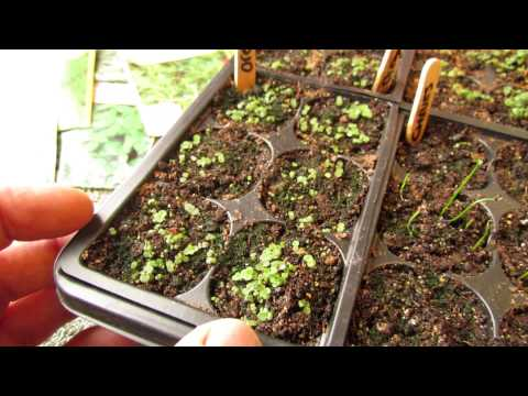 Germination Update: Oregano, Thyme, Chives, Sage and Lavender: Success! - MFG 2014