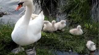 Los Cisnes Con Sus Crias En La Ria De O Burgo mp3