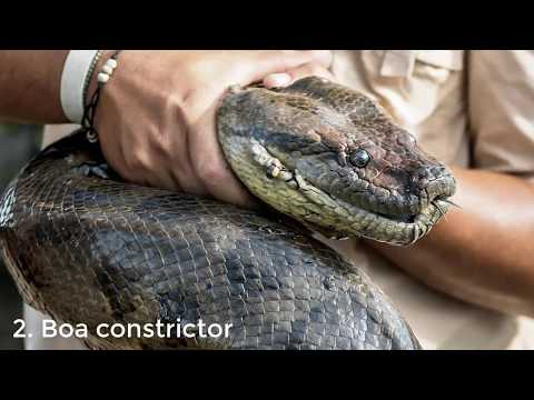 Top 10 Most Biggest Snakes in the World