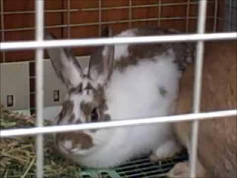 Miniature Rabbit's Breeding