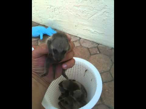 Critter 911 important baby raccoon noise to catch mom.MOV