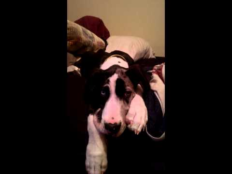 Addie The Great Dane Whines About Being on Bed