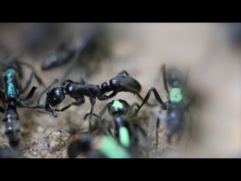 Watch ants rescue their wounded comrades