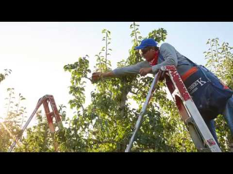 Welcome To Our Royal Riviera® Pear Harvest