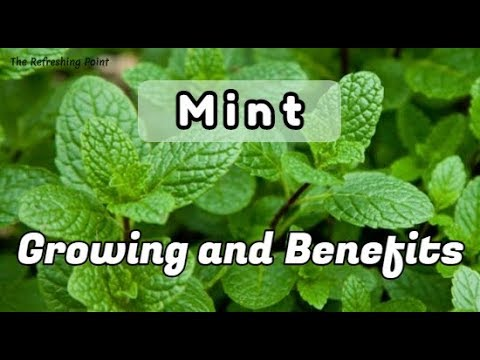 Mint: Health Benefits of This Versatile Herb that Keep you Healthy and How to Easily Grow Indoors
