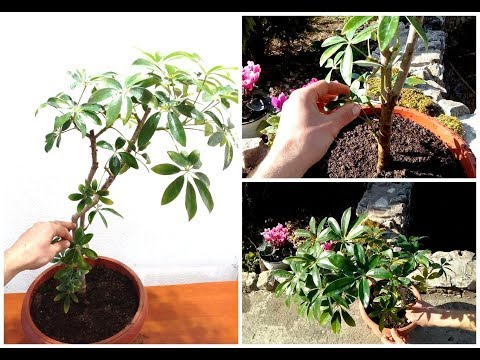 How to Grow and Care for Schefflera Plant