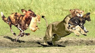 OMG! Harsh life of Stupid Wild Dogs  - The God help Mother Lion Destroy 16 WildDogs save Lion Cub