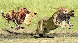 The God help Mother Lion destroy 16 Wild Dogs save Lion Cub - Epic Battle Of Lion Vs Wild Dogs
