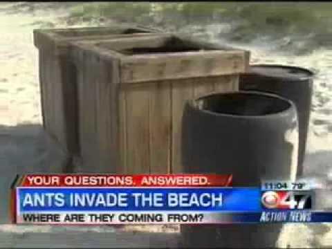 Crazy Ants Invade Jacksonville Beach