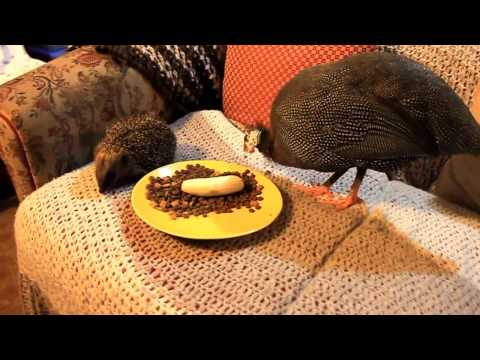 Pet Guinea Fowl befriends wild Hedgehog