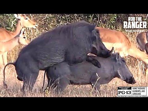Xxx Mp4 WILDlife Warthogs Do It Piggy Style 3gp Sex