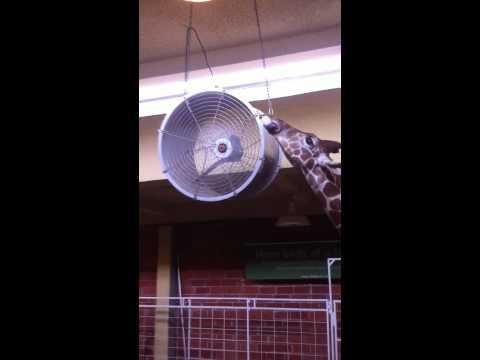 Giraffe gets tongue cut off by fan
