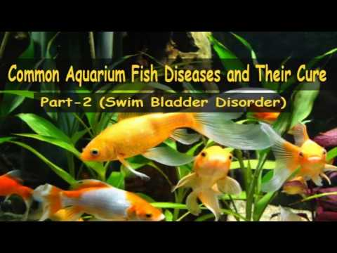Common Aquarium Fish Diseases Part-2 (Swim Bladder Disorder)