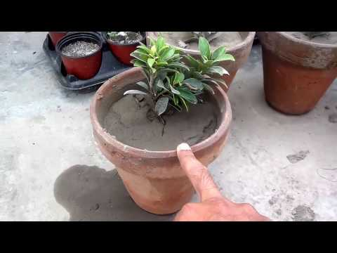 How To Re-Pot a Plant - Tips For Repotting Plants (Urdu/Hindi)
