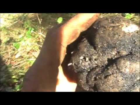 Huge Oregon black truffle mushroom