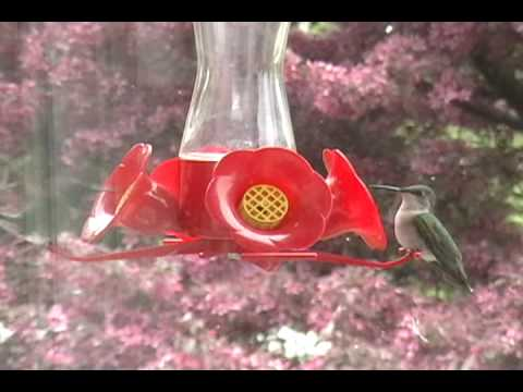 Many hummingbirds, crabapple tree blooms, Canada, Archilochus colubris