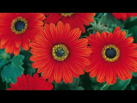 HOW TO PLANT AND CARE FOR AFRICAN DAISIES FLOWERS - BY HAPPY TWIRL