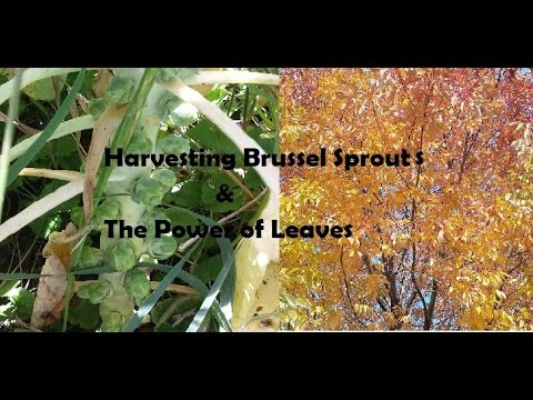 Harvesting Brussel Sprouts & The Power of Leaves The Wisconsin Vegetable Gardener