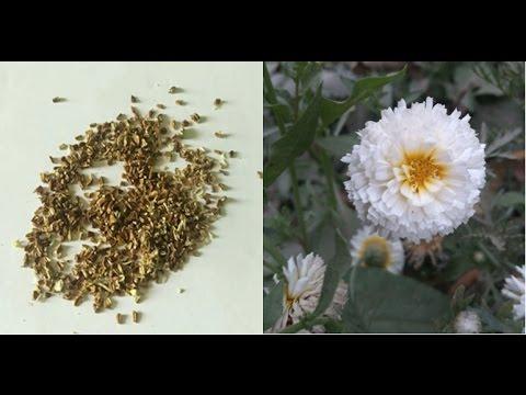 क्रिसैंथेमम  (Chrysanthemum) के बीज Save करें !! Collect Chrysanthemum Seeds - Hindi/ Urdu/ Punjabi