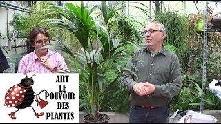 Conseil jardinage: Entretien et arrosage du palmier kentia Howea: Plante verte d'intérieur