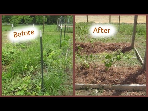 Prune, Train, Weed, and Mulch the Grape Vines with Us