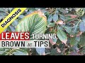 PLANT LEAF DRYING and BROWN at TIPS AND EDGES: Top 5 Reasons - Diagnosis Cure and Hacks (Tips)
