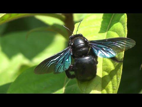 Carpenter bee Xylocopa documentary