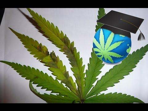 Learn To Spot Phosphorus Deficiency In Cannabis
