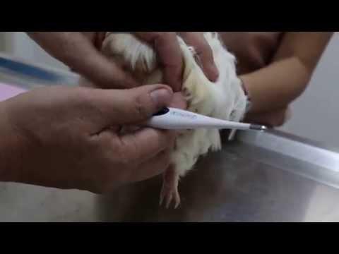 A guinea pig passes soft stools