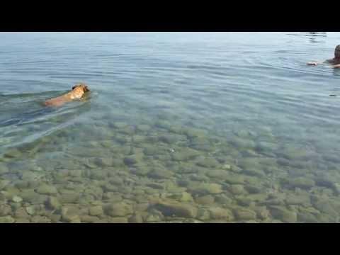 My boxer dog loves to swim