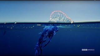 Planet Earth: Blue Planet II | Portuguese man o