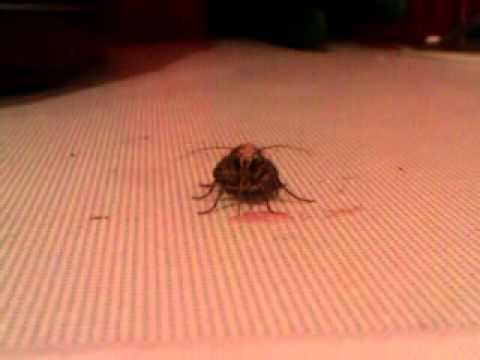 moth drinking vimto