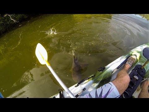 Bullshark eats Australia Bass next to kayak!