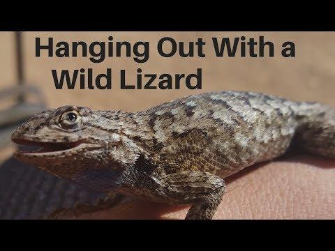 Bearded Dragon Owners //  Wild Western Fence Lizard.