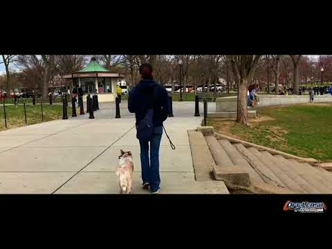 How Is Your Dog Off Leash with Distractions?   Red Heeler, Sansa   Red Heel Dog Training