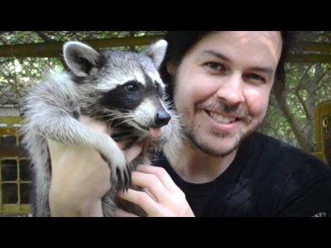 Rescuing Baby Raccoons - How to feed and raise coon babies
