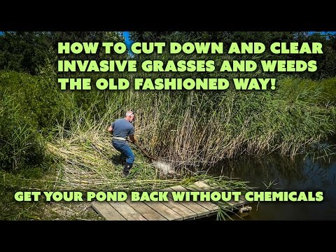 How to Cut Tall Weeds and Invasive Pond Grasses the OLD way with a Scythe!