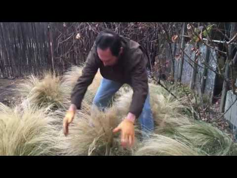 Keeping Evergreen Grasses Looking Great!