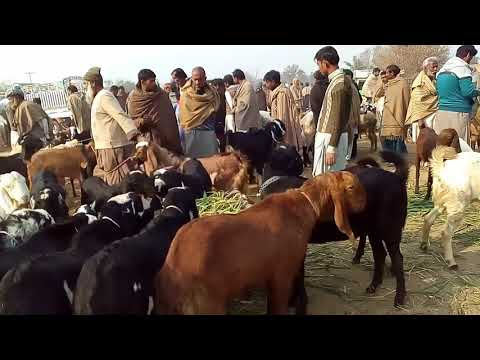 Is goat farming a profitable business in Urdu / Hindi / Why start goat business / Important points