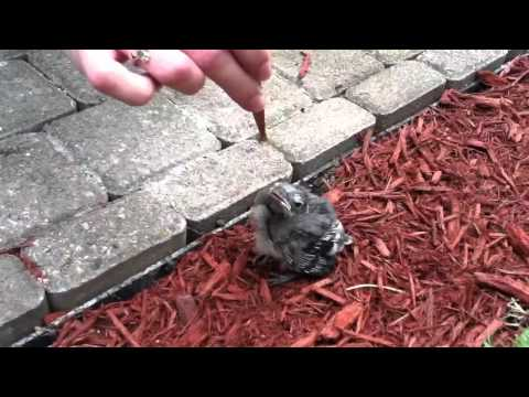 Baby blue jay fell from nest
