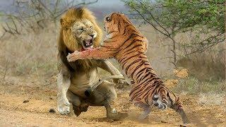 Download Lion VS Tiger - Tiger VS Lion - Aspin Video